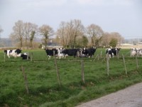vaches_laitieres.jpg