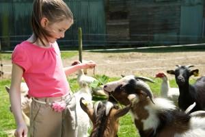 Bienvenue a la ferme du Moulin du Bois, decouverte des animaux, l'enclos des chevres